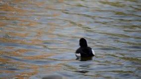 装缨球鸭子在Shinobazu池塘,上野公园在东京,日本 股票视频