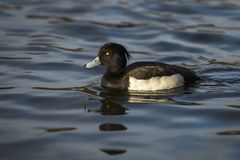 装缨球鸭子游泳在湖 库存图片
