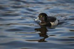 装缨球鸭子游泳在湖 免版税库存照片