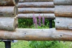 装配一个木制框架和修建房子 俄国 老木日志、紫色羽扇豆和孔纹理的 库存照片