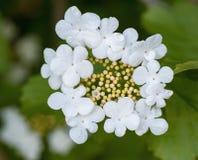 装饰与五瓣的灌木开花的美丽的白花 免版税库存照片