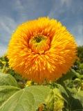 装饰向日葵在蓝天下 免版税库存照片