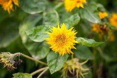 装饰向日葵 黄色 免版税库存照片