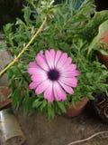 装饰品淡紫色花  库存照片