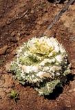 装饰圆白菜在一个小有机农场增长 图库摄影