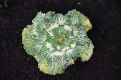 装饰圆白菜在庭院里 免版税库存照片
