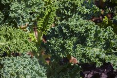 装饰圆白菜的叶子是绿色和黄色的与一个波纹状的边缘 免版税库存照片