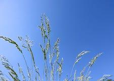 装饰在天空蔚蓝背景的草蓝色教鞭 丛生草glauca小尖峰 免版税库存图片
