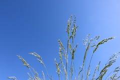 装饰在天空蔚蓝背景的草蓝色教鞭 丛生草glauca小尖峰 库存图片