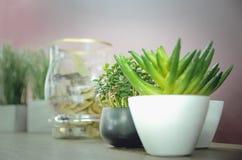 装饰室内植物景天树 免版税库存图片