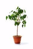 装饰小的结构树 库存图片