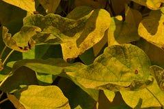 装饰庭院树黄色和绿色叶子纹理在秋天季节期间的 免版税图库摄影