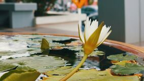装饰庭院百合在人为池塘 在一个小人为水库的美丽的白色装饰花 股票录像
