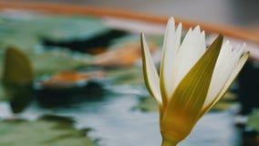 装饰庭院百合在人为池塘 在一个小人为水库的美丽的白色装饰花 股票视频