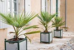 装饰棕榈树 免版税图库摄影
