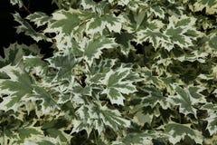 装饰槭树叶子  库存照片