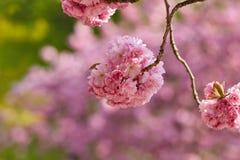 装饰樱花在春天2018年 免版税图库摄影