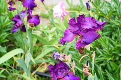 装饰洋红色和紫色虹膜开花 库存照片