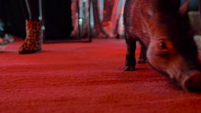 装饰猪在有红色照明的暗室走,在人的腿中 股票视频
