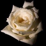 装饰玫瑰白色 库存图片