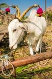 装饰的印地安黄牛 免版税库存图片