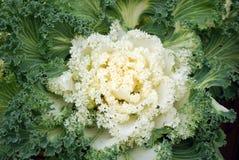 装饰的圆白菜 免版税图库摄影