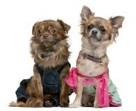装饰的奇瓦瓦狗 库存图片