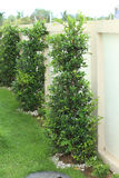 装饰的榕属树 免版税库存图片