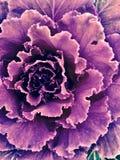 装饰的花椰菜 库存图片