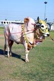 装饰的黄牛 免版税库存照片