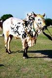装饰的黄牛 免版税库存图片