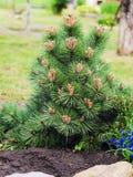 装饰矮小的杉木在庭院里增长 免版税图库摄影