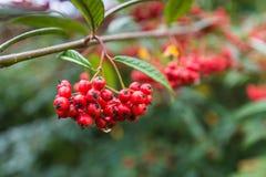 装饰红色枸子属植物莓果 库存图片