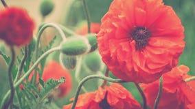 装饰红色鸦片花在春日,关闭与一些绿色茎, 4K 3840 x 2160 UHD 股票录像