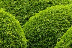 装饰绿色结构树 免版税库存照片