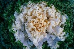 装饰花椰菜在公园 库存图片