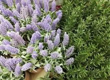 装饰花-迷迭香和淡紫色 库存照片