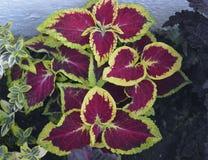 装饰荨麻摘要白色绽放明亮的五颜六色的秀丽颜色花卉黄色桃红色夏天种植叶子植物群植物花gr 免版税图库摄影
