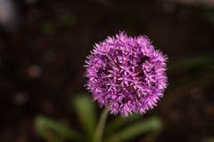 装饰葱属,开花的葱 库存照片