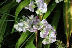 装饰豌豆花卉生长在晴朗的庭院里 免版税图库摄影
