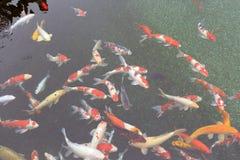 装饰鱼在池塘 免版税库存照片