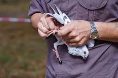装饰鸽子特写镜头在手上 免版税图库摄影