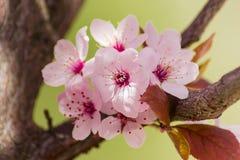 装饰洋李特写镜头的几朵花 免版税图库摄影