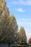 装饰洋梨树 免版税库存图片