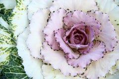 装饰紫色无头甘蓝或圆白菜和露珠 库存照片