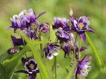 装饰Aquilegia (鸽子似)在庭院里开花 图库摄影