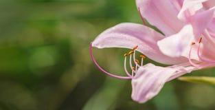 裸女人- Lycoris squamigera 免版税库存照片