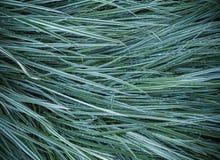 裸麦草草在雨以后的庭院里 库存照片