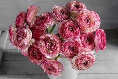 褐红和白色波斯毛茛花 在金属灰色葡萄酒喷壶,拷贝空间的卷曲牡丹毛茛属 库存图片