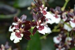 褐红和白色色的热带兰花 免版税库存照片